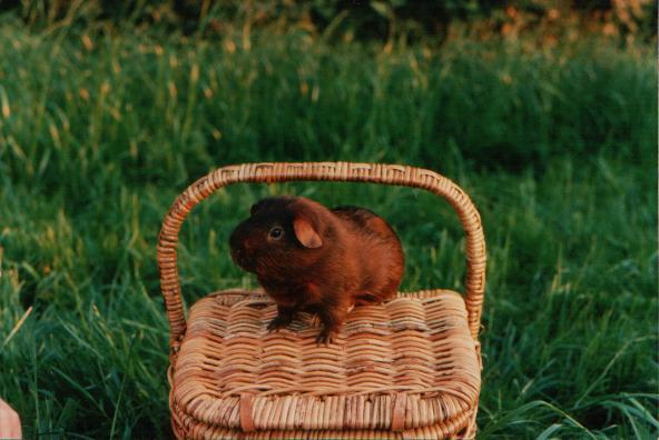 Kleinschwein auf Korb